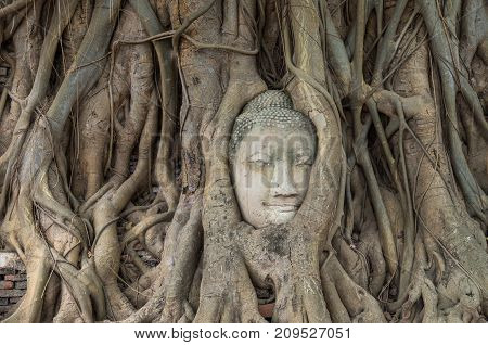 Head of sand stone buddha in a tree at Wat Mahathat Ayutthaya Thailand public temple