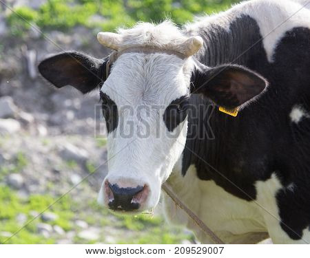 cow grazing on nature . In the park in nature