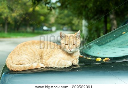 Cool beautiful lazy fat cat resting on the trunk of the car