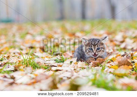 Gray little kitten in the autumn glade among the fallen leaves