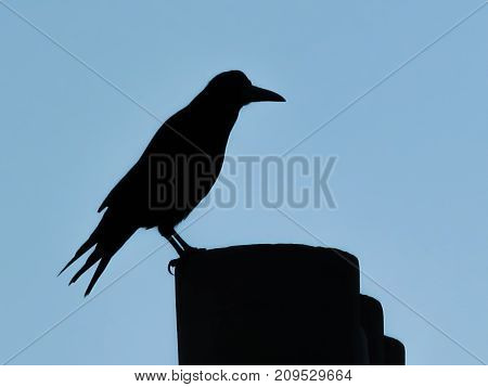 Silhouette of Rook on a chimney pot with a blue sky background. Corvus frugilegus is a large black crow in the corvid family with a distinctive shape.