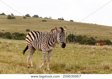 Zebra Walking In The Field