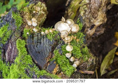 Fomes fomentarius - commonly known as the tinder fungus false tinder fungus hoof fungus tinder conk tinder polypore or ice man fungus - on the trunk of a birch