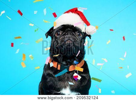 Black pug wearing Santa hat on a blue background