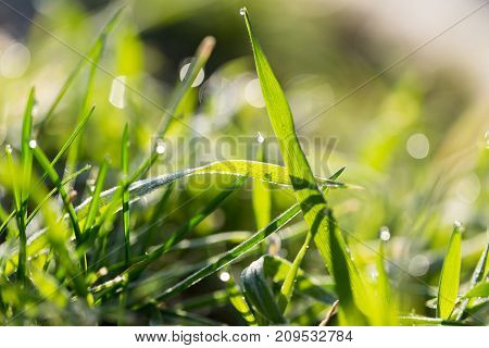 beautiful grass with dew drops . In the park in nature