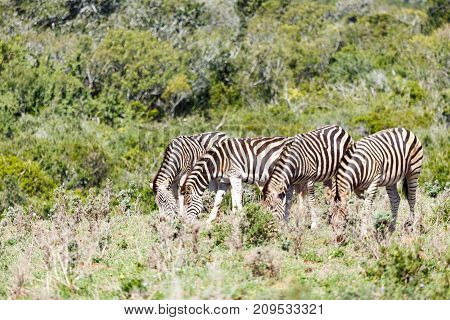 Zebras Lining Up In The Field To Eat