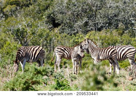 Zebras Standing Together Kissing Their Foreheads