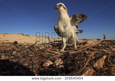 Osprey on nest with eggs