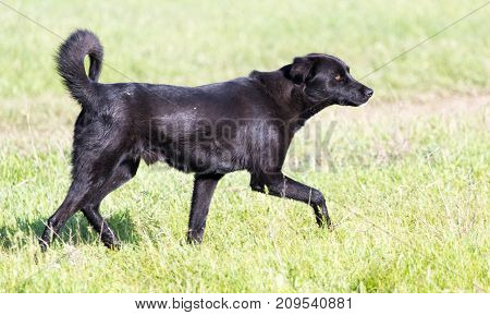 black dog on the nature . In the park in nature