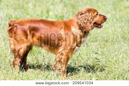 red dog on the nature . In the park in nature