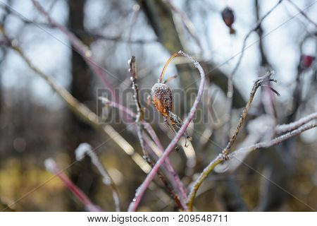 Autumn Autumn Frost first frost Forest Frost Frost On Berry Rosehip Frost On The Leaves Frost On The Plants Frozen Berry Rosehip Frozen Forest Frozen Leaves Grove Late Autumn Nature Rose Hips In The Frost Wild Rose Bush