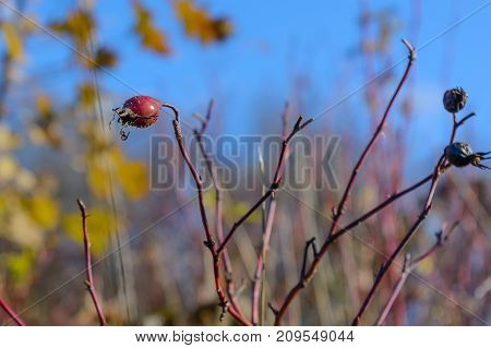 Autumn Berry Rosehip Forest Grove Late Autumn Leaves Of Rose Hips Nature Rose Hips Wild Rose Bush
