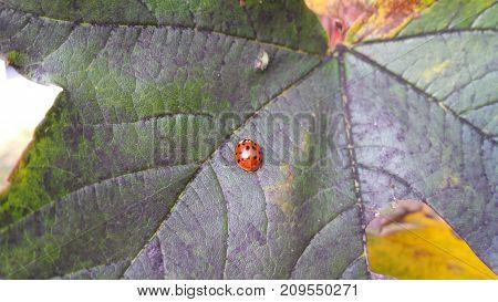 Ladybird. Ladybug on a leaf. Close-up photo.