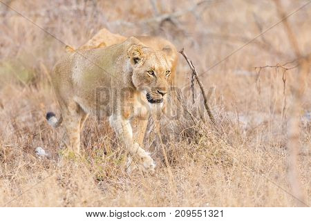 Lioness move in brown grass in late afternoon to a kill
