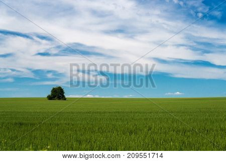 Lonely tree in a green field of wheat - copy space