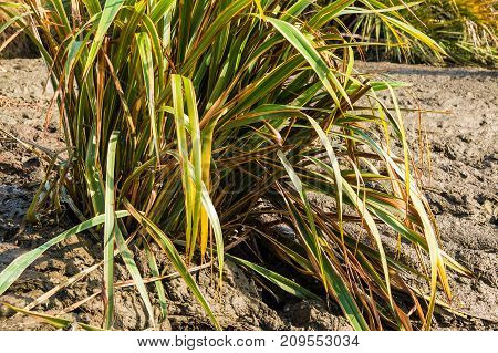 The bush of Phormium tenax variegatum growing in the wet ground in sunny summer day