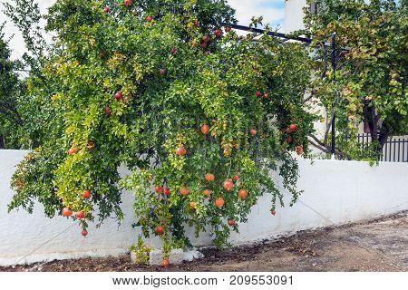 Tree with pomegranates. White fence. Greece. Autumn.