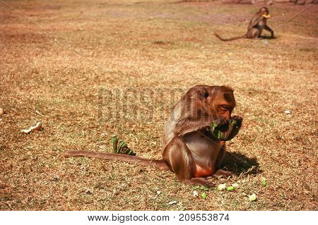 Macaque eating a lotus seed on a grassy field