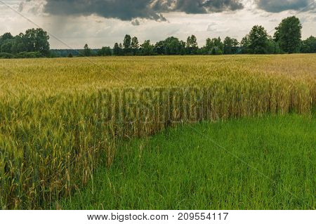 Evening landscape with dramatic sky and wheat field at summer season in central Ukraine