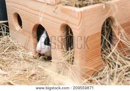 Little cute guinea pig in wooden house.