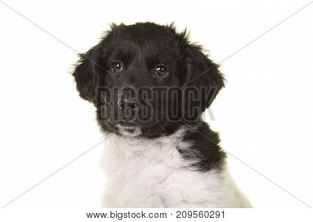 Portrait of a cute black and white stabyhoun on a white background