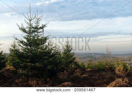 christmas tree nursery plantering in an organic natural environment a farm where one falls its own fir or spruce for the celebration