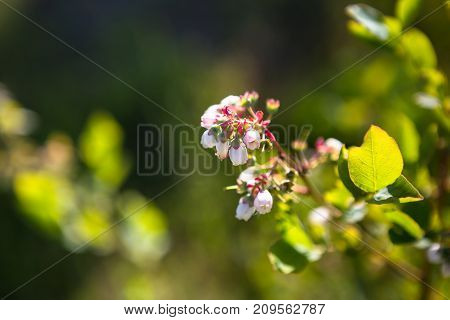 Blueberry Bush With Blossoms In Early Spring.