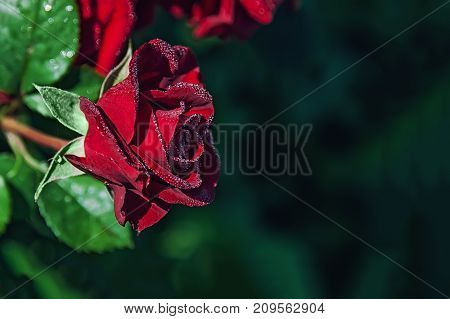 Beautiful red rose in drops of dew. Close-up. Copy space. The horizontal frame.