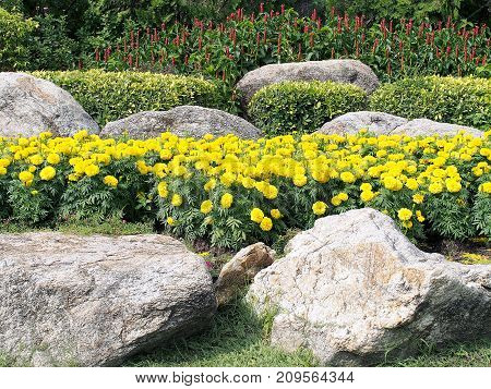 yellow marigold flowers blooming, shrub, red flowers of medicinal plants and rock garden in public park, garden decoration with colorful flowers, marigold flower is symbol of His Majesty King Rama IX of Thailand