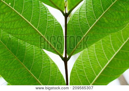 The Pattern And Texture Of Green Leaves Vein