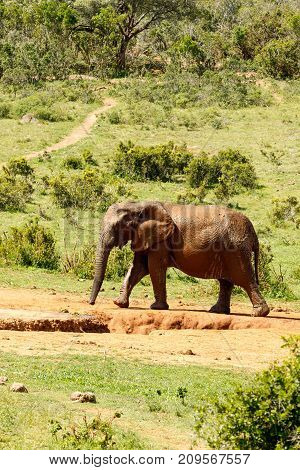 Elephant Walking To The Dam