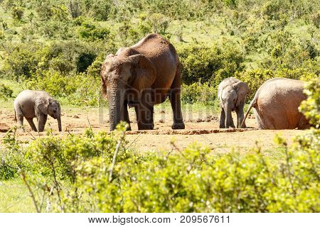 Baby Elephants With Their Mom Drinking Water