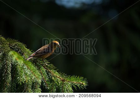 Red Crossbill (loxia Curvirostra) A Small Passerine Bird