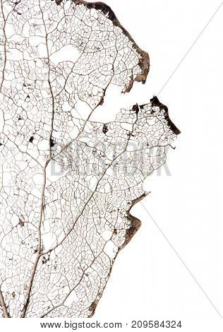 part of old brown dead leaf isolated on white background