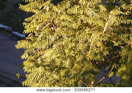 Autumn Crown Of Ailanthus Tree, Top View