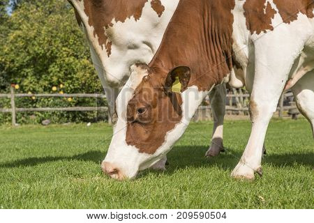 Portrait of a brown and white cow eating grass standing outside on a sunny day