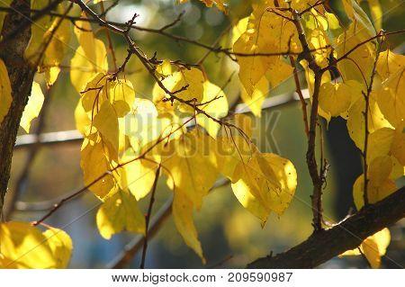 Lush Yellow Foliage Of Apricot Tree Backlit By Soft Sunlight. Warm Weather, Sunny Day, Good Autumn M