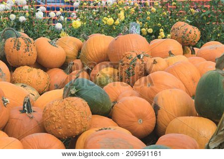 Pile of pumpkins just in time for the fall season