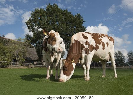 Two brown and white cows eating grass standing outside on a sunny day with a farm in the background