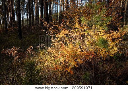 Autumn bush with bright yellow leaves in a pine forest on a sunny day