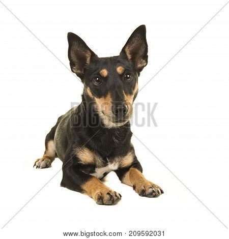 Black and tan jack russel terrier lying down facing the camera on a white background