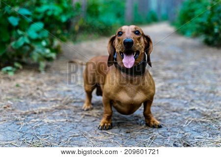 A beautiful red dachshund walks among the green trees in the forest