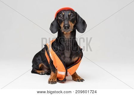funny dog builder dachshund in an orange construction helmet and a vest isolated on gray background