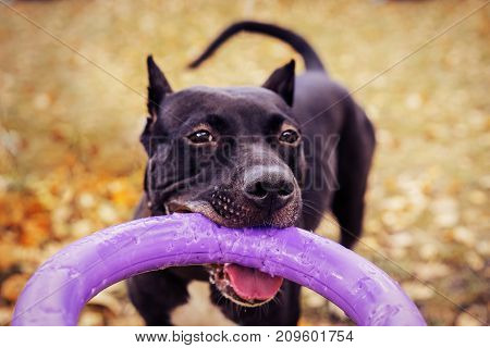 Cute American pit bull terrier dog with puller toy in teeth in the autumn park. Young playful dog pulls toy.