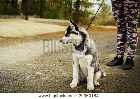 portrait cute puppy of Siberian husky on a leash sitting near the owner. Autumn walk with a dog.