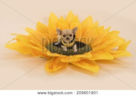 Chihuahua dog lying in a sunflower wearing a little bee sweater