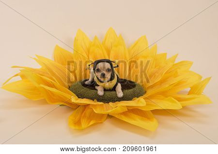 Chihuahua dog lying in a sunflower dressed as a little bee