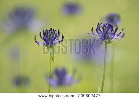 Purple round headed rampion flowers in a green grass field