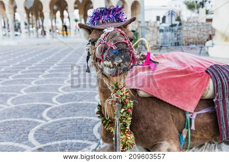 Camel with ornaments on his head on the square of Habib Bourguiba with shady Arabic pavilion and Medieval fortress Ribat in Monastir. Tunisia