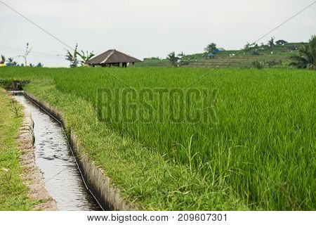 Rice terraces in Tegallalang. Ubud. Bali Indonesia. Watering on rice terraces